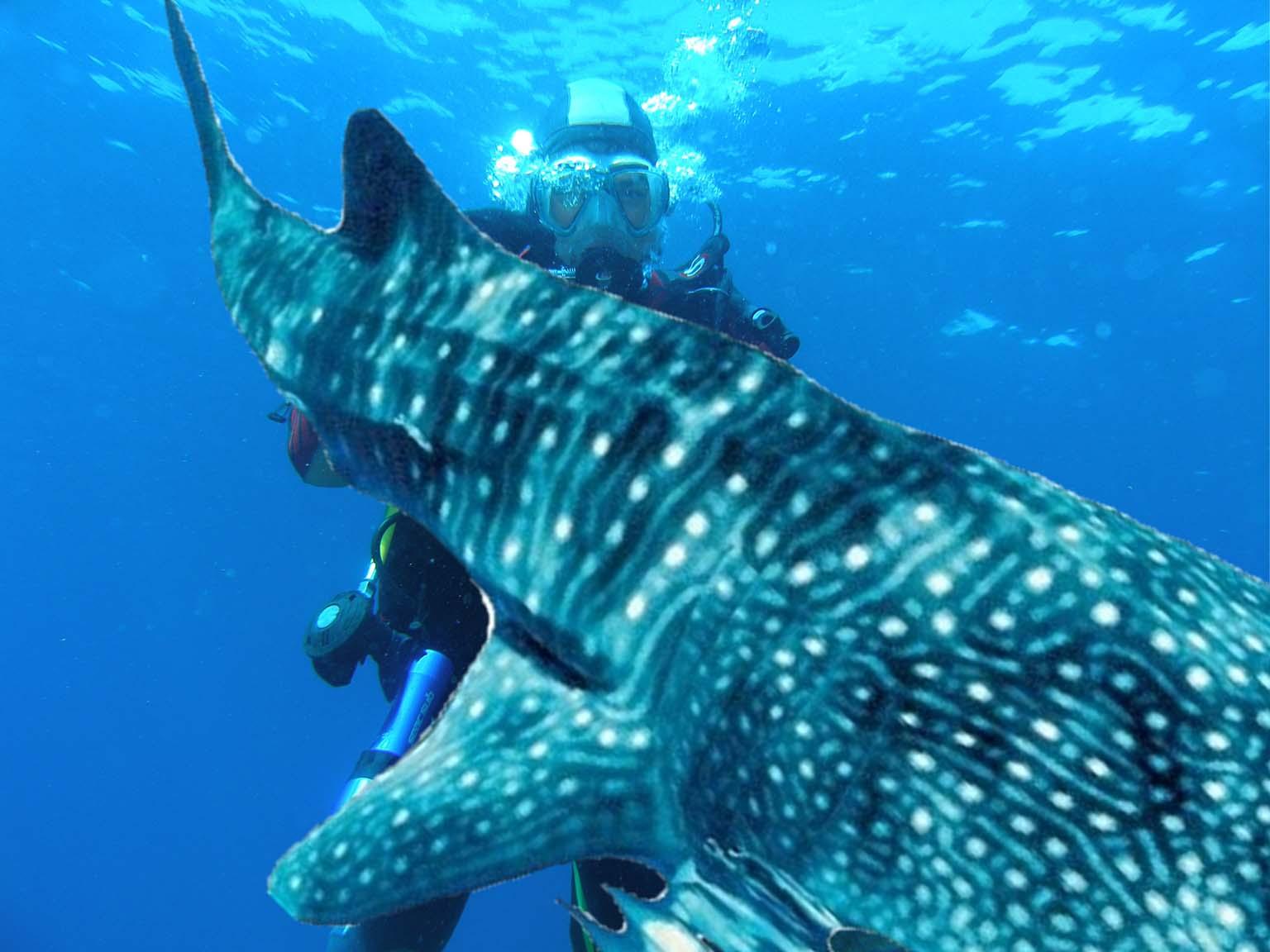Requin Baleine à Madagascar - Nosy Be
