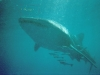 Voyage plongée à Madagascar - Nosy Be. Requin Baleine