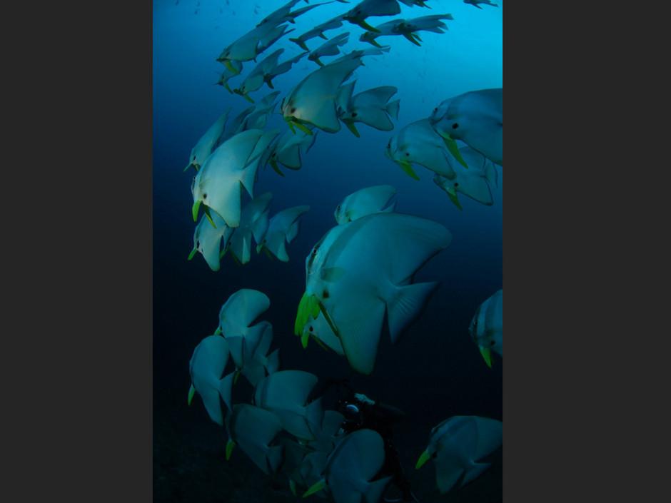 Plongée Maldives Merouville.com - platax