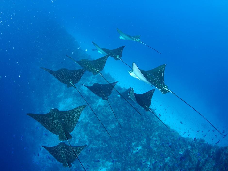 Plongée Maldives Merouville.com - raies-aigles
