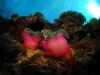 Plongée Maldives Merouville.com - anemones