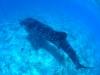 Plongée Maldives Merouville.com - requin-baleine