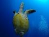 Plongée Maldives Merouville.com - tortue-imbriquee