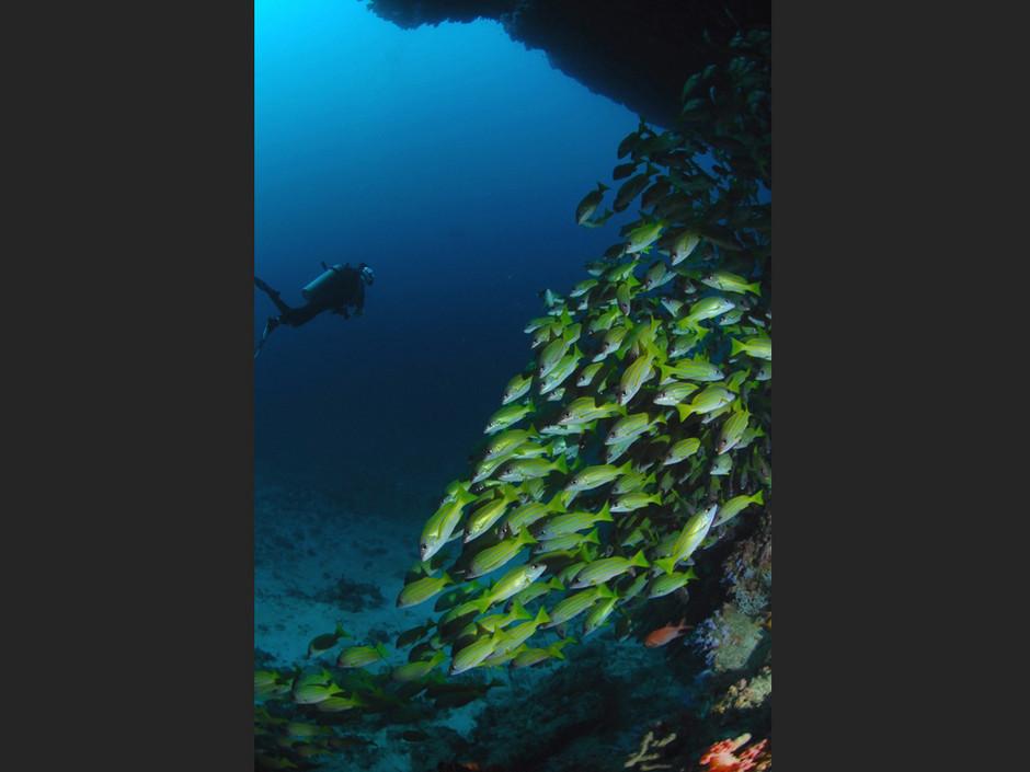 Plongée Maldives Merouville.com - vivaneau-a-raies-bleues