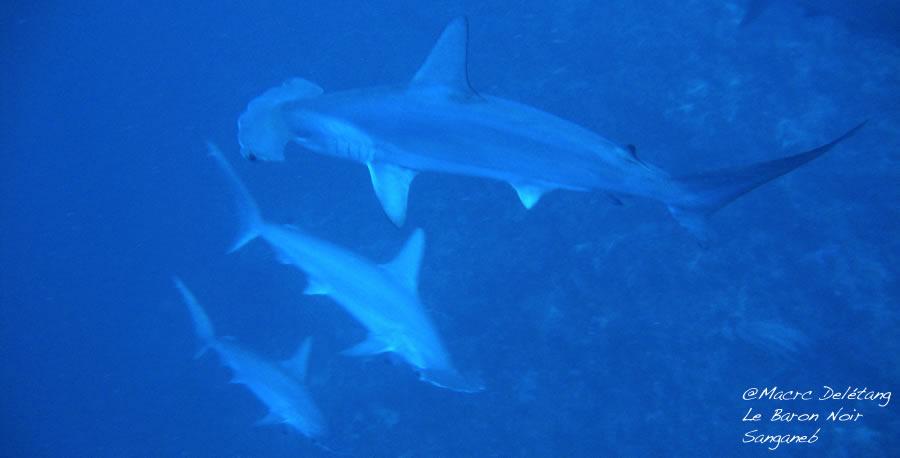Requins Marteaux au Soudan