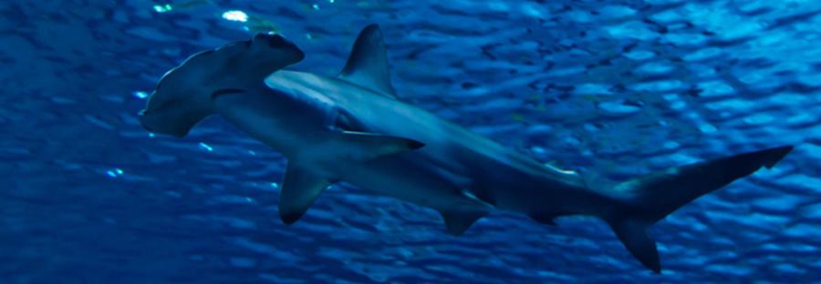 Requin-marteau. Merouville.com croisière Soudan